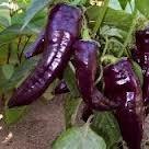Marconi Purple Capsicum Annuum